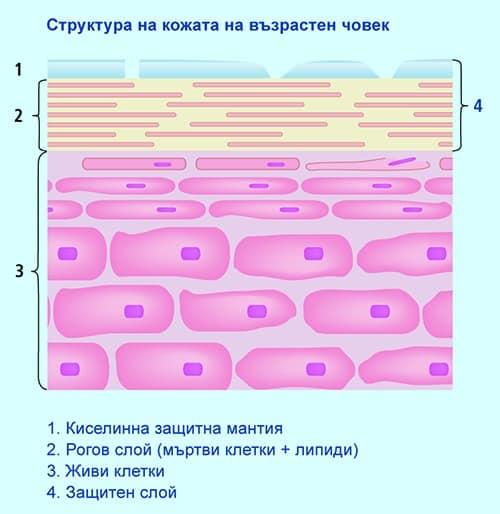 Структура на кожата на възрастен човек